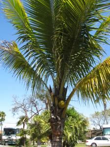 Coconut palm Marathon, FL