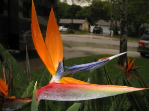 Bird of Paradise New Smyrna Beach, FL