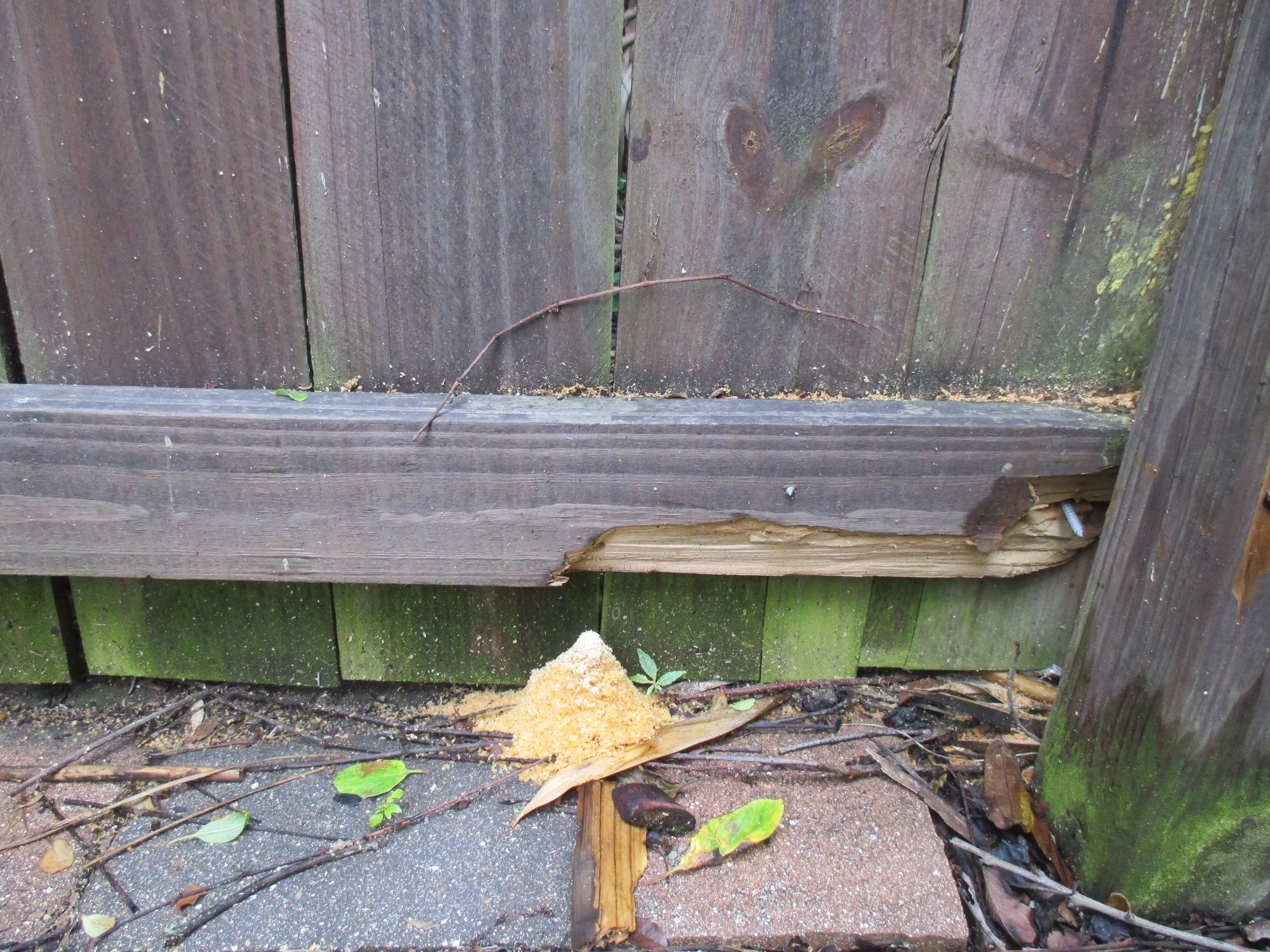 Carpenter Ants Sawdust Piles ~ Carpenter bees on y va
